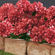 All-Weather Forever Blooms - Red Mums